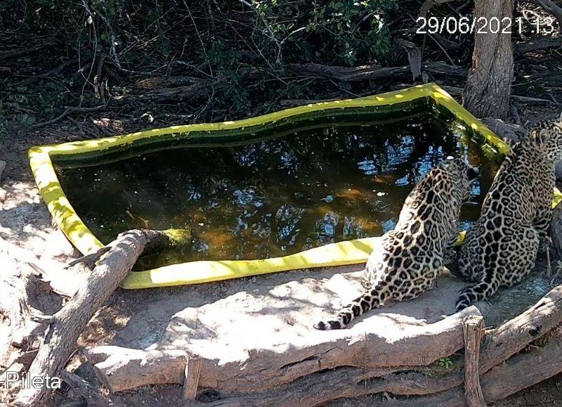 Los jaguares que ya probaron el sabor de la carne, todavía no participaron de la experiencia de procurar su propio alimento.