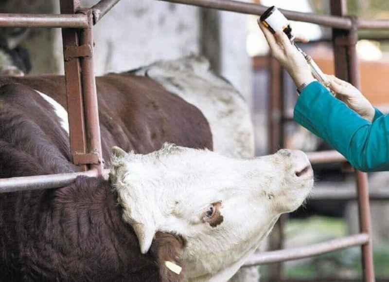 El movimiento de hacienda sólo se podrá realizar cuando el destino de estos animales sean establecimientos que no hayan cumplimentado la vacunación correspondiente.