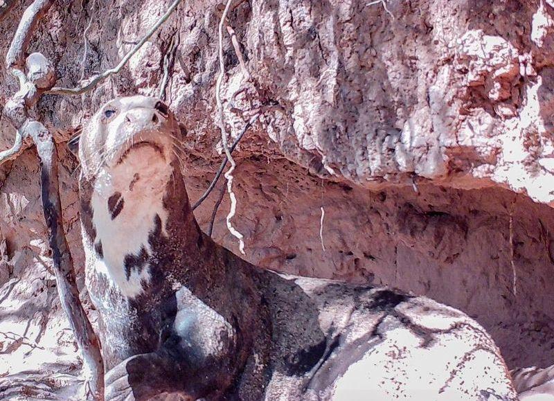 Teuco volvió a El Impenetrable y ha estado agrandando una de las madrigueras que había construido en este parque nacional, lo que alienta las esperanzas de que se establezca en la zona.