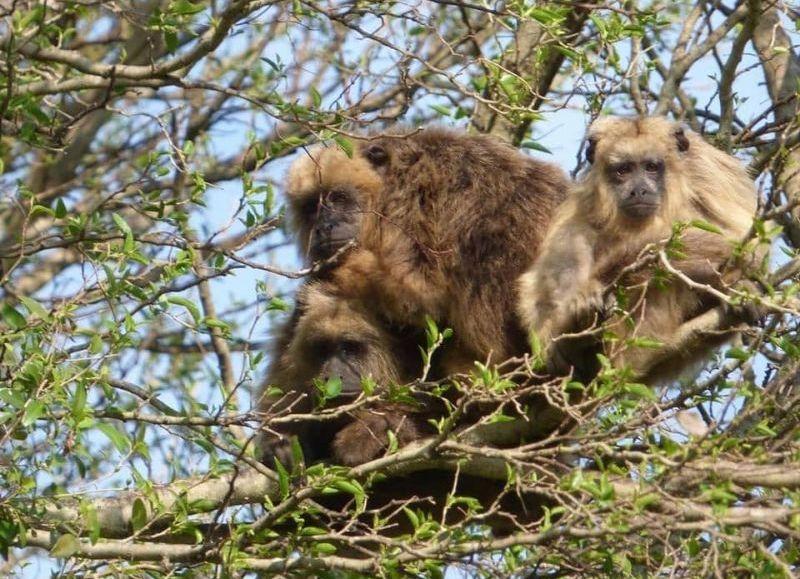 """Quieren declarar """"Monumento Natural"""" al mono Carayá, una de tantas acciones necesarias para su conservación"""