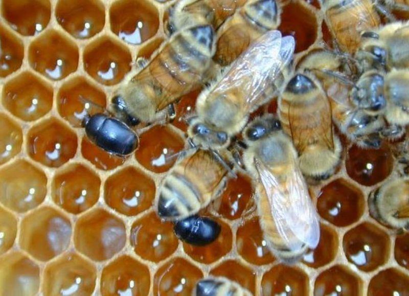 """Se distribuirán 12 apiarios en distintos puntos de la provincia para realizar el seguimiento ante la eventual detección del """"pequeño escarabajo de las colmenas"""", del que no hay registros en el país."""