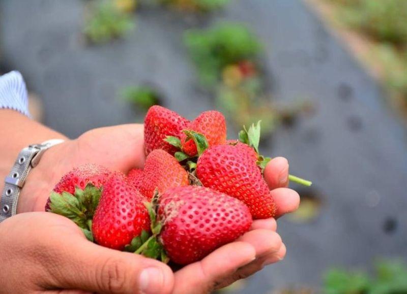 Rubén Lefler de la colonia el 44 fue uno de los primeros productores en incursionar la siembra de la fragaria (frutilla),