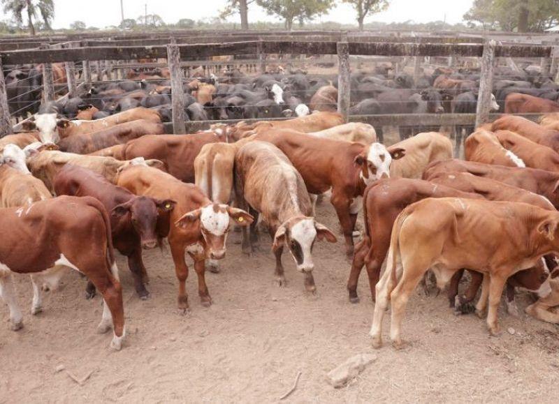 En junio se realizarán tres remates ganaderos: en San Martín, Villa Berthet y Machagai